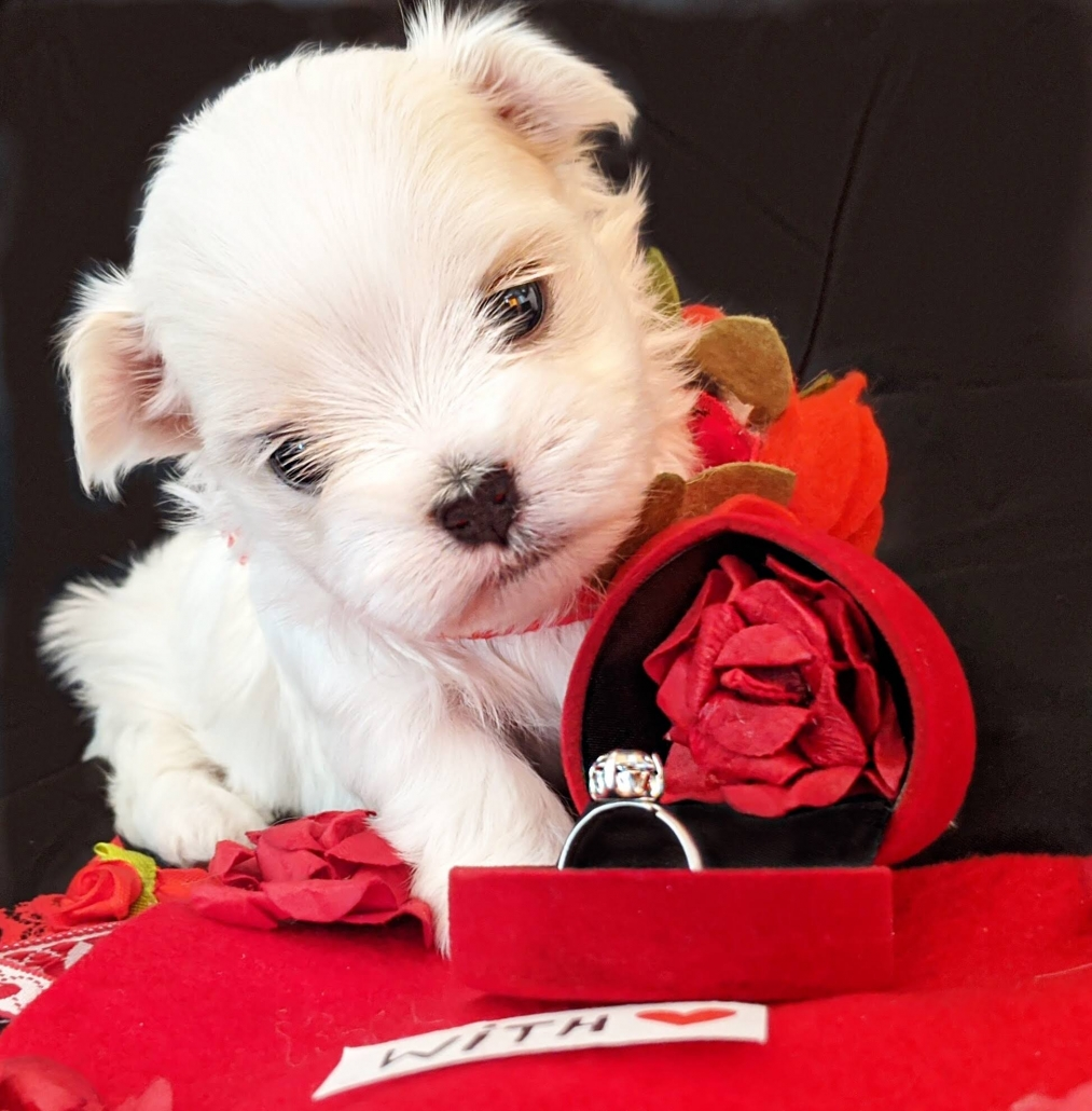 UK maltese puppy