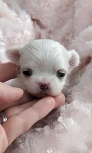 Tiny Maltese Puppy