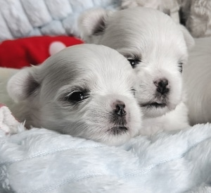 Contact us for Maltese puppies