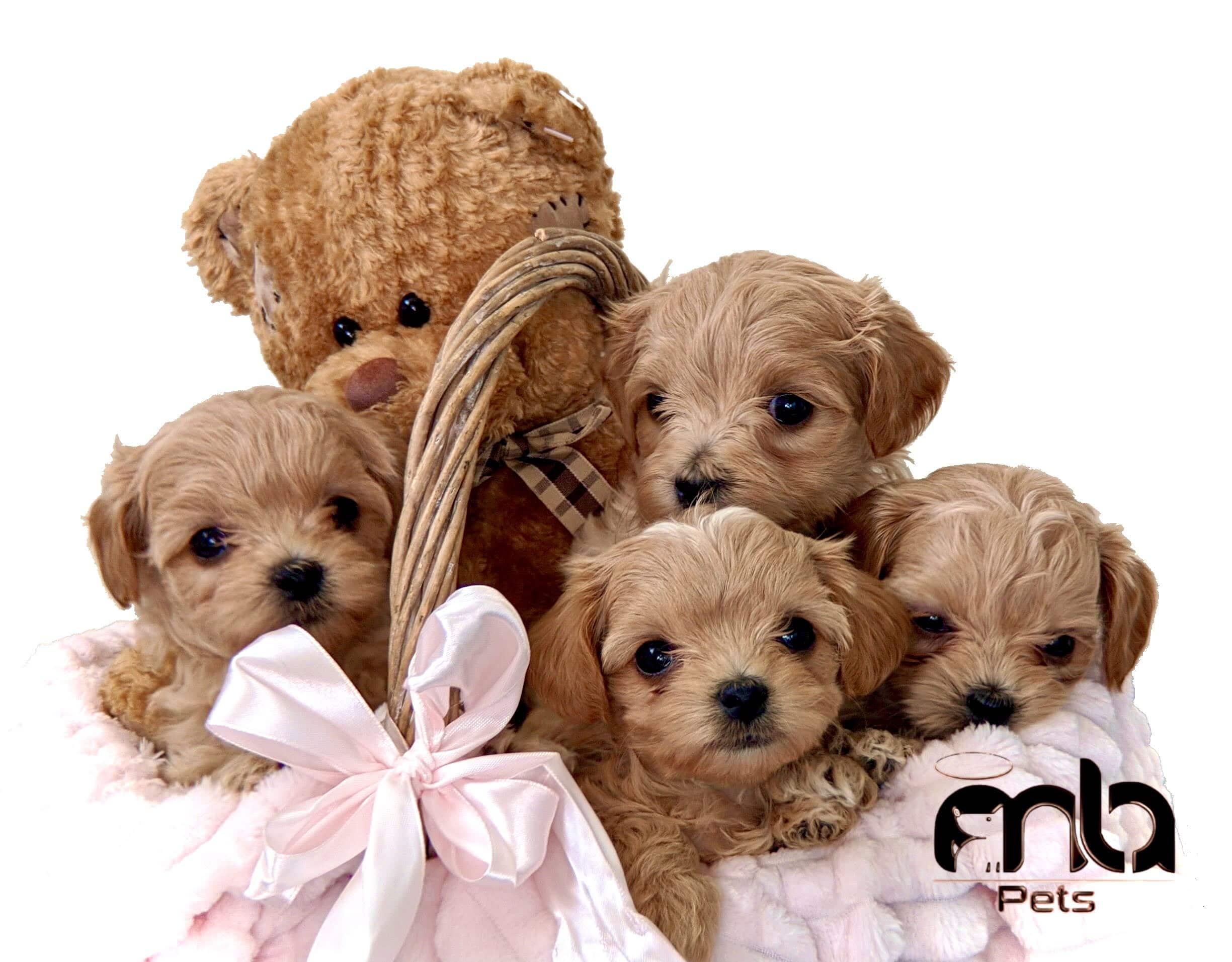 Contact us Maltipoo puppies