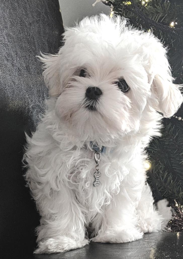 White Fluffy Maltese Puppy