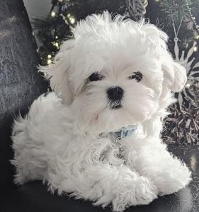 Teddy bear face puppy