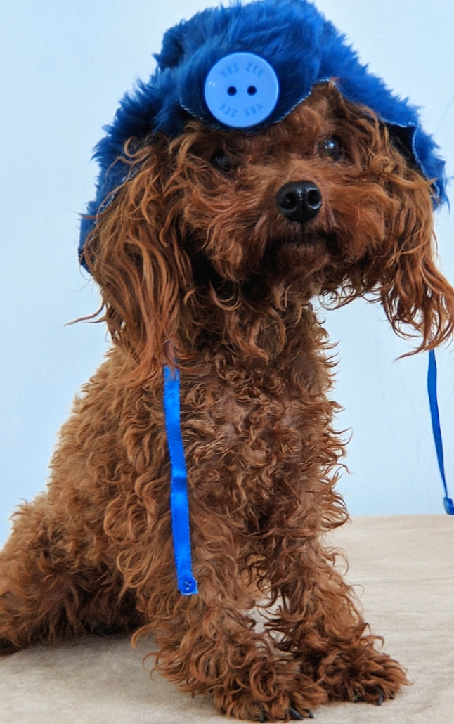Red Toy poodle with blue hat.
