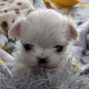 Application for  tiny puppies